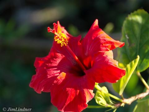 Hibiscus-1040900