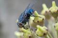 Bluebottle  fly (Protophormia Terraenovae)