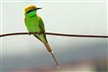 A Green Bee Eater