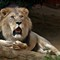 291633.My__Pictures0072  Lion 2