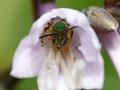 Hosta Bee