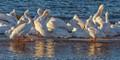 White Pelican Sunset