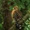 Red Shoulder Hawk: SAMSUNG CSC