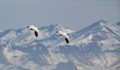 Snow Geese over the Mountains