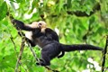 A baby Capuchin on the back of its mother