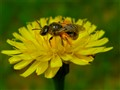 Tiny Stingless Native Bee