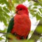 Red and green (Australian king parrot)_9230