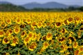 Sunflowers of Provence-1-1