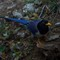 Yellow -billed blue Magpie