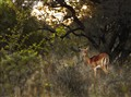 Impala sunset