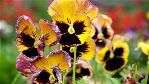 Pansy-The Flower