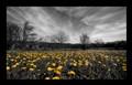 Dandelion Invasion