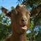 z15_Hi_There_goat_med