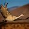 sandhill-in-flight-1-copy