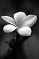 B + W flower