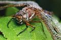 Karelian dragonfly