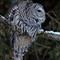Barred Owl Focused on the Hunt