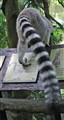Ring-tailed Lemur Tail