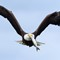 Eagle Takes Fish From GBH 08