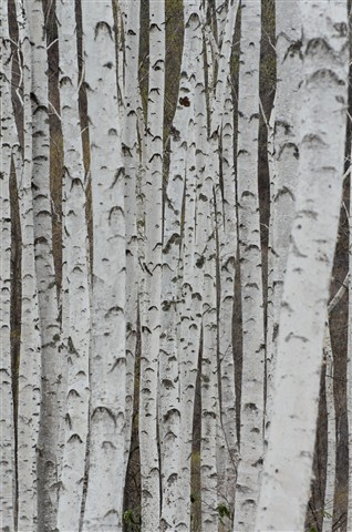 Forest of White Birch
