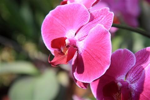 Orchid_Mainau_Konstanz_100