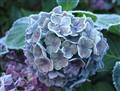 Frosty hortensia