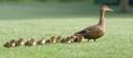 Nine little Mallards following Mom