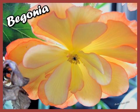 Bigonia100