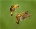 greenfinch fight