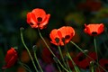 Red poppies. Douarnenez. France