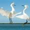 Egrets 05 08 09 FL09-a1 095