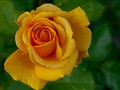 Yellow PA Rose