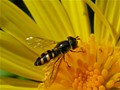 Is it a Hoverfly or a Bee?