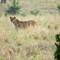 Female Lion - Tarangire NP