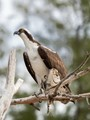 An Osprey with Lunch