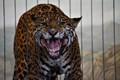 Amur Leopard Snarls