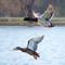 some-ducks_32894517156_o