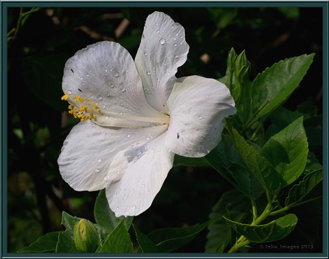 Floral Studies_White Hibiscus No_1