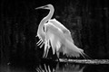 ......the GREAT EGRET......
