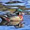 IMG_6816_wood duck-1