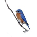 Bluebird with a snowy background