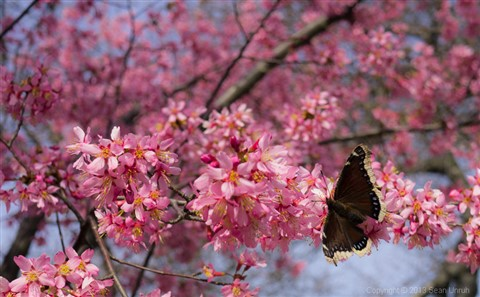 cherry_blossom_butterfly_large