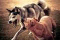 Canines in Combat