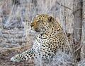 Leopard 0671