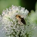 Tiny bee on tiny white  flowers