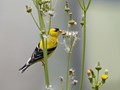 American Goldfinch
