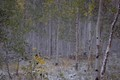 An early snow in the summer of 2020 just after the leaves start changing in an Aspen grove in Colorado US.