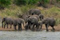 Elephant herd at Kruger National Park