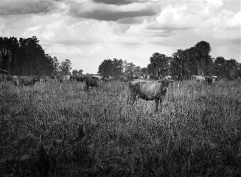 cows-#4