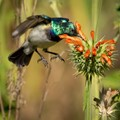 White bellied Sunbird